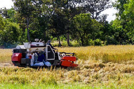 Harvester machine to harvest wheat field working. Combine harvester agriculture machine harvesting golden ripe wheat field in Thailand