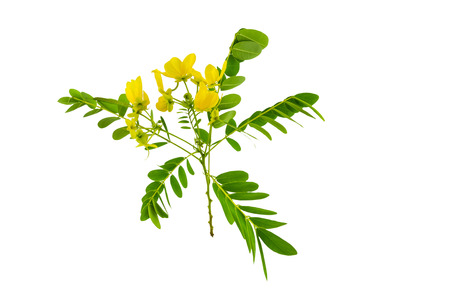 Closed up yellow flower American Cassia or Golden Wonder isolated on white background.Saved with clipping path.