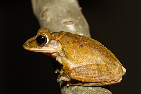 Close up golden tree frog on tree. Banco de Imagens