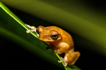 Close up golden tree frog on tree,selective focus.