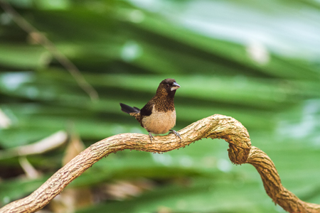 Beautiful bird White-rumped Munia on branch at Phu Suan Sai National Park.Thailand
