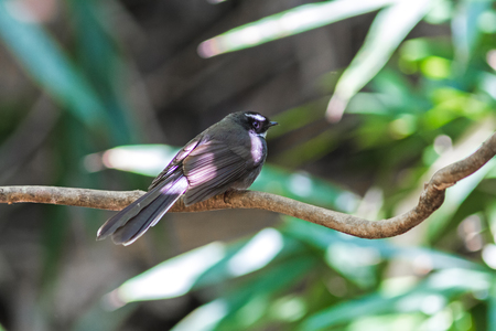 Beautiful bird White-browed Fantail on branch at Phu Suan Sai National Park.Thailand