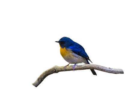Beautiful male of Hill Blue Flycatcher (Cyornis banyumas) on branch isolated on white Banco de Imagens