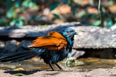 Beautiful bird greater coucal or crow pheasant (Centropus sinensis) drink water on branch in DoiInthanon Natural Park, Chiangmai Banco de Imagens