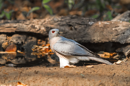 Beautiful bird Shikra ( Accipiter badius ) drink water  on pond Banco de Imagens