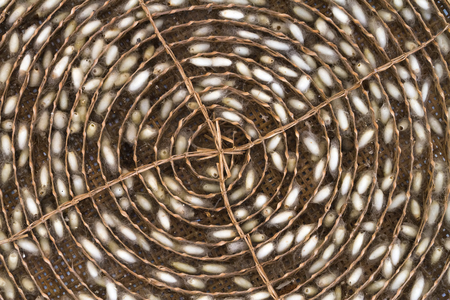 Close up silkworm cocoons in weave bamboo threshing basket