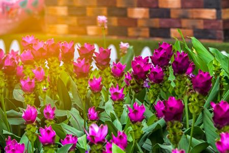 Close up pink Siam Tulip Banco de Imagens