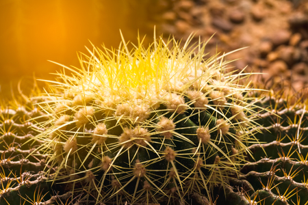 Close up golden barrel cactus in the garden with light rays.