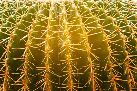Close up golden barrel cactus in the garden