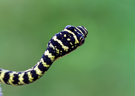 Close up head of Golden Tree Snake or Chrysopelea ornata on green