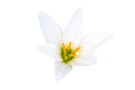 Close up white-purple Zephyranthes flower isolated white