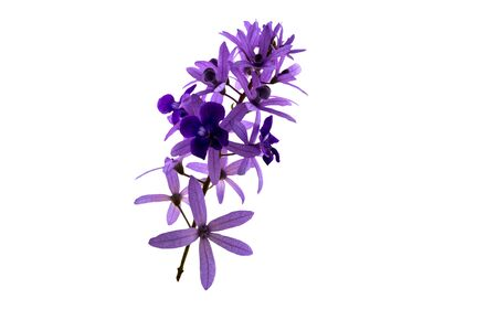 Sandpaper vine , Petrea volubilis,purple flower isolated on white background.Saved with clipping path. Banque d'images