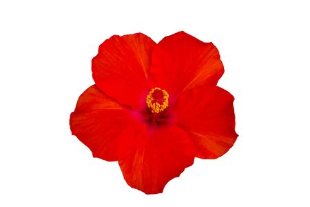 Close up red Hibiscus flowers isolated on white background.