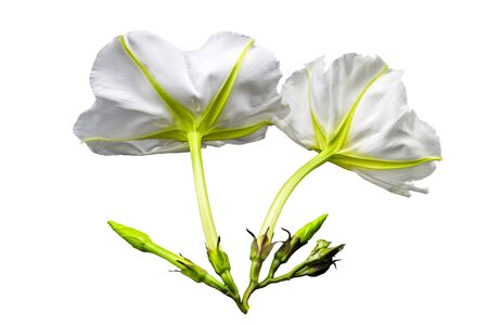 Close up Ipomoea alba on white background. Stock Photo