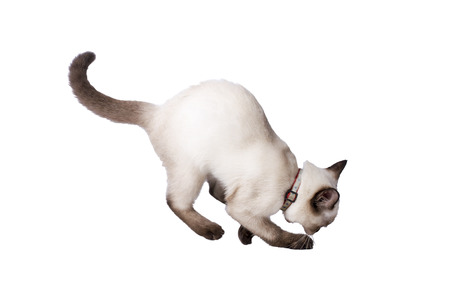 crouch: Siamese Cat crouch on the floor Stock Photo