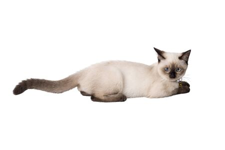 crouch: Siamese Cat crouch on the fllor, isolated white background