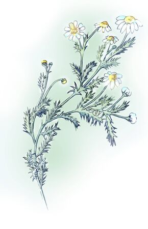 The branch of chamomile drug, drawn with colored pencils Stock Photo - 12811207