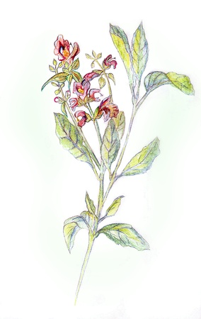 Salvia officinalis  Drawing pencils  Stock Photo