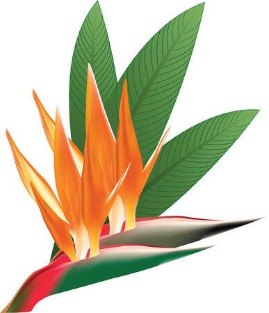 birds of paradise: Birds of Paradise Flower Orange with Leaves green Illustration