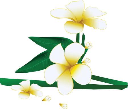 plumeria flower: Beautiful leelawadee or plumeria flower in natural
