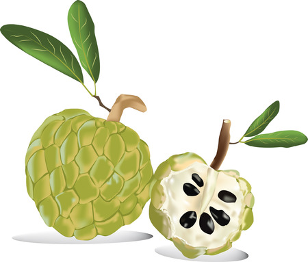 thai fruit custard apple of fresh custard apple isolated in white Vector