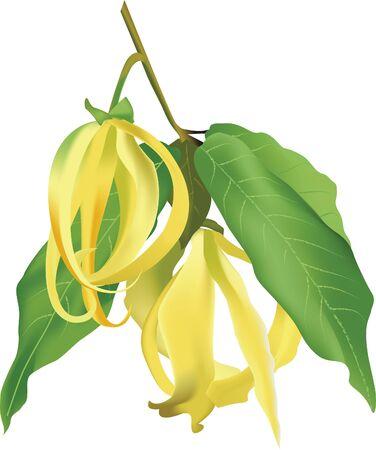 odorous: Ylang Ylang Flower Perfume Tree Thailand