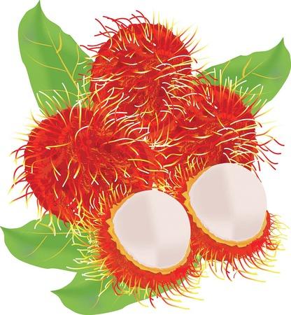 rambutan: rambutan fruit vector