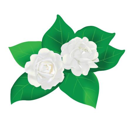 thai flower white jasmine with leaves vector