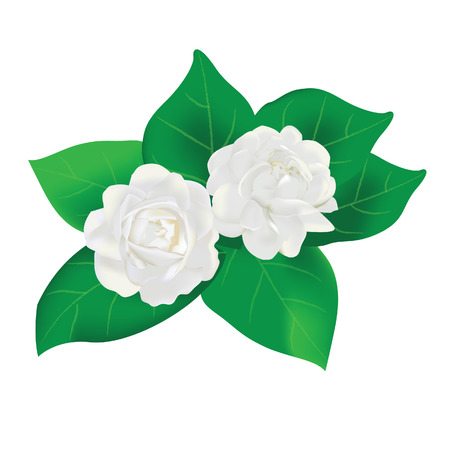thai flower white jasmine with leaves vector