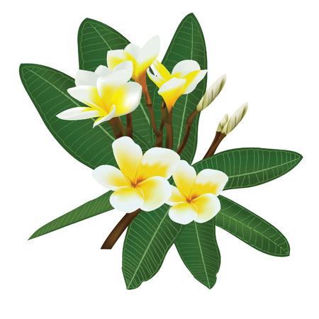 Frangipani Plumeria Templetree Thai flower