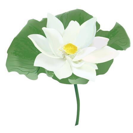 beautiful thai lotus flower vector