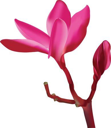 Frangipani Dok Champa Laos leelawadee flower