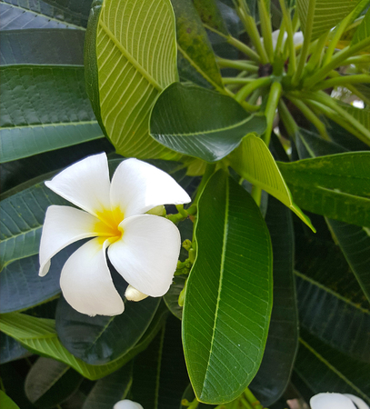 Plumeria flower blooming on tree, spa flower
