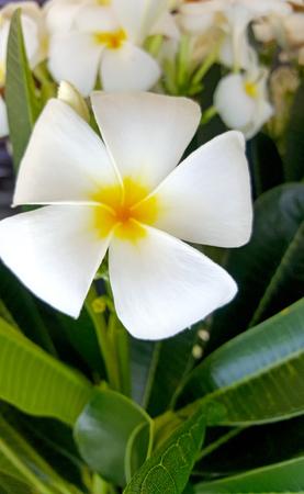Plumeria Flower Фото со стока