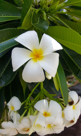 White flowers Leelawadee or Frangipani Stock fotó