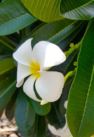 White frangipani tropical flower