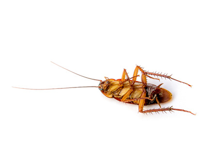 Dead cockroach isolated on  white background. Imagens