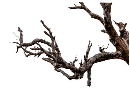 Branch of dead tree with clipping path isolated on white background. Stock Photo