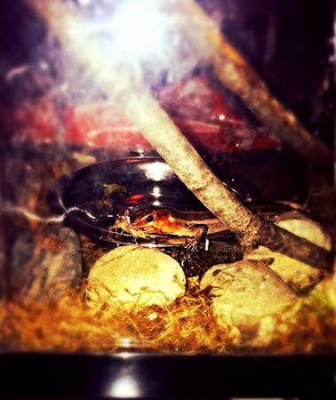 headed: red headed skink lizard Stock Photo