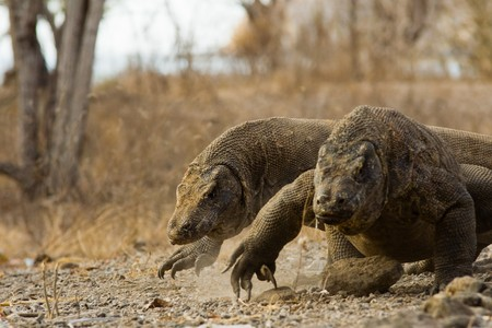 A pair of Komodo dragons run surprisingly fast after a meal on Komodo island.