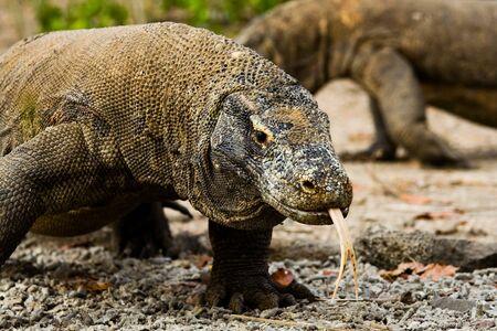 A pair of Komodo dragons wander in search of food on Komodo island.