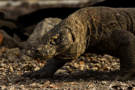 merciless: A komodo dragon, a ferocious carnivore and predator, searches for pray in early morning.