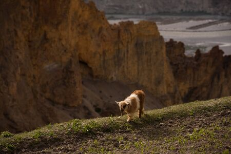 dangerously: A young mountain goat walks dangerously close to a cliffs edge. Stock Photo