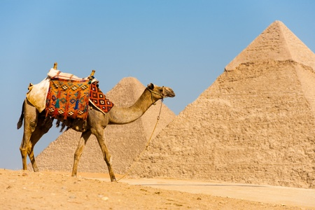 A camel walks in front of the Pyramids of Cheops and Khafre at Giza in Cairo, Egypt
