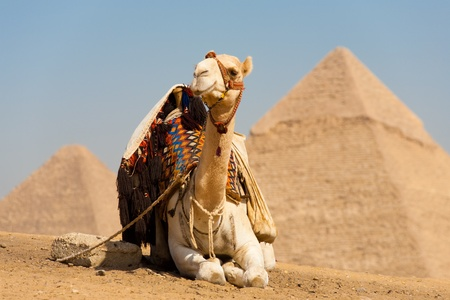 A white camel rests in front of the tips of the Pyramids of Cheops and Khafre in Giza, Cairo, Egypt.