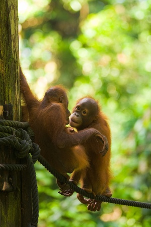 Cute baby orangutans play on a rope at the Sepilok Orangutan Rehabilitation Sanctuary in Borneo.  Vertical photo
