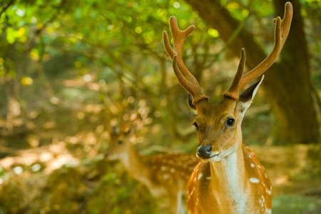 A close shot of the Formosan Sika Deer (Cervus Nippon Taiouanus), an introduced species and a tourist attraction on Daqiu island in the Matsu Islands of Taiwan.  Horizontal. Banque d'images