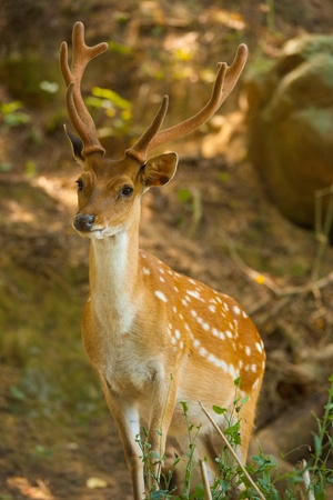 A Formosan Sika Deer (Cervus Nippon Taiouanus) is an introduced species and a tourist attraction on Daqiu island in the Matsu Islands of Taiwan.  Vertical.