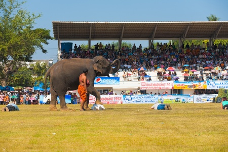 SURIN, THAILAND - NOVEMBER 20, 2010: An elephant walks over, occasionally stepping on, brave volunteers from the audience at the Surin Elephant Roundup on November 20, 2010 in Surin, Thailand