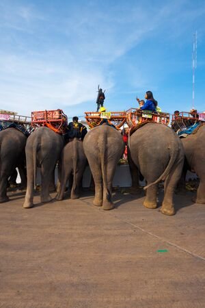 gorging: SURIN, ISAN, THAILAND - NOVEMBER 19, 2010: Elephants gorge themselves on an elephant breakfast at the end of the parade at the annual Surin Elephant Roundup on November 19, 2010 in Surin, Thailand Editorial